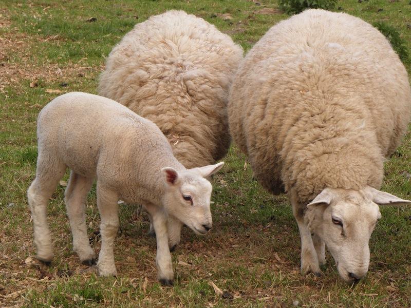 Wir alle gingen in die Irre wie Schafe, jeder wandte sich auf seinen Weg; aber der HERR warf unser aller Schuld auf ihn. (Jes 53,6)